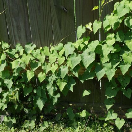Strange, but welcome vine overtaking our fence.