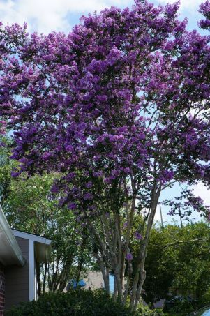 Our beautiful crepe myrtle in full bloom!